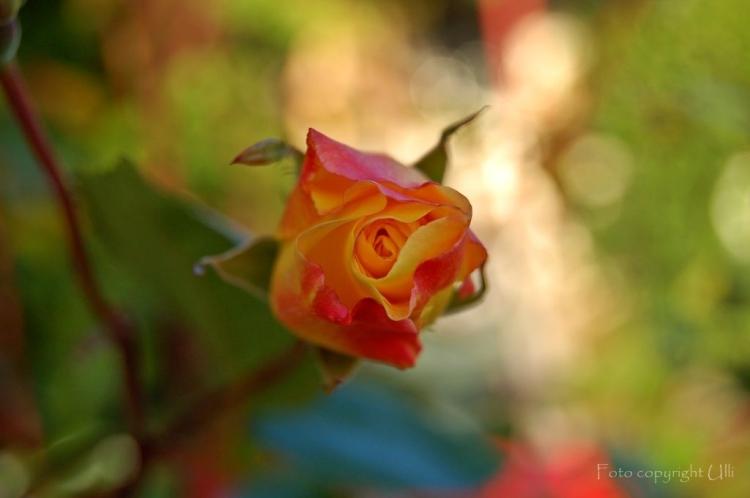 0138 24.08.14 es war eine rose, eine rose, eine rose